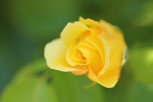 Coincidences, Tender Mercies, and a Yellow Rosebud