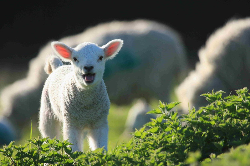 Mary Had a Little Lamb…