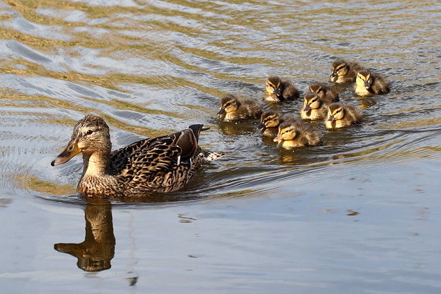 The Duckling Report